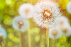 The dandelions blowballs under sun flares are ready to start seeds downwind Royalty Free Stock Images