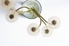 Dandelions blowballs w szkle woda fotografia stock