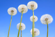 Dandelions on blue background stock image