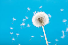 Dandelions on a blue background Stock Images