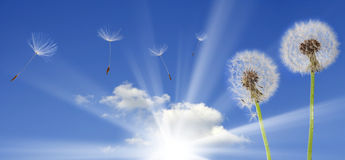 Dandelions on blue sky Stock Photos