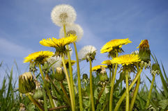 Dandelions and blue sky Royalty Free Stock Photo