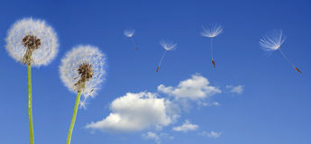 Dandelions on blue sky. Dandelion seeds flying in the blue sky Royalty Free Stock Photography