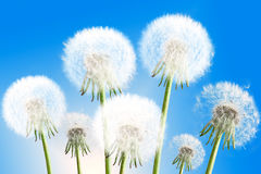 Dandelions on blue sky background Royalty Free Stock Photos