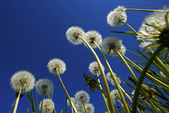 Dandelions Blue Sky Royalty Free Stock Photos