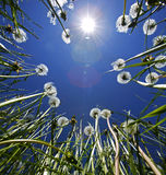 Dandelions Blue Sky Sun Flare Royalty Free Stock Photo