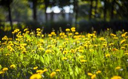 Dandelions on a blurred background on a meadow royalty free stock photos