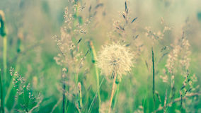 Dandelions with a blurred grass background Stock Photography
