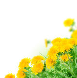 Dandelions Border. Beautiful Dandelions Border.Studio isolated stock image
