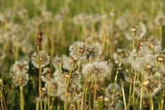 dandelions botânicas, dentes-de-leão, flores, Foto de Stock