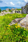 Dandelions among the boulders on hill side. Yellow dandelions in the grass among the huge rocks on hillside in high mountains Royalty Free Stock Photography