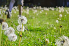 Dandelions And Boy Running In Background Stock Photography