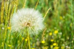 The dandelions. Stock Photo