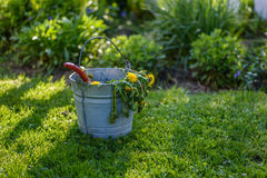 Dandelions in bucket on grass by garden after weeding. Galvanized retro pail with dead dandelion weeds on a sunny spring day stock photography