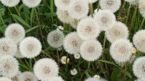 Dandelions bulbs stock footage