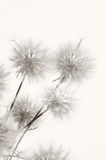 Dandelions. Bunch of dandelions on light background. Sepia Stock Images