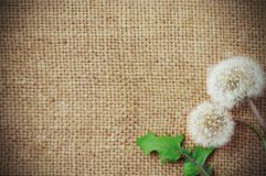 Dandelions on burlap background Royalty Free Stock Photos