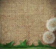 Dandelions on burlap background Royalty Free Stock Photo