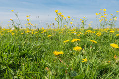 Dandelions and buttercups in springtime Royalty Free Stock Photo