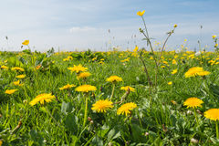 Dandelions and buttercups in springtime Royalty Free Stock Photos