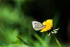 Dandelions with butterfly Stock Images