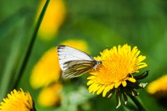 Dandelions with butterfly Royalty Free Stock Photo