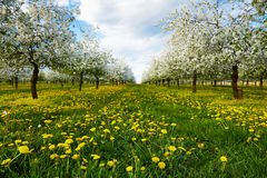 Dandelions in cherry orchard Stock Image
