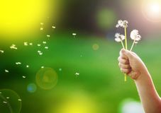 Dandelions in a child`s hand against a background of a green garden stock images