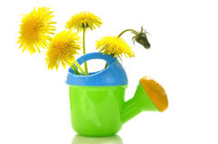 Dandelions in a children's watering can Royalty Free Stock Photography