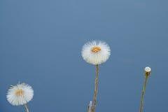 Dandelions on a clear blue background - Taraxacum Stock Image