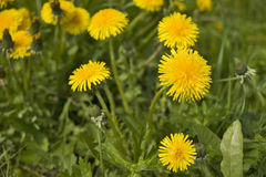 Free Dandelions Close Up Stock Photos - 10161923