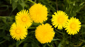 Dandelions (close up). Some yellow dandelions photographed by a close up Stock Image