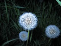Dandelions close up on a dark background with grass stock image