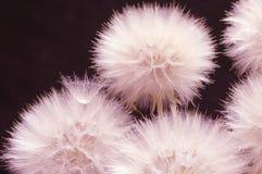 Dandelions close-up on dark Stock Images