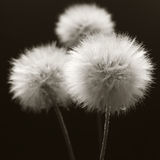 Dandelions close-up on dark Royalty Free Stock Photos
