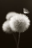Dandelions close-up on dark Royalty Free Stock Photo
