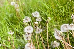 Dandelions, close up. Faded dandelion flowers of white color. some without seeds. photo close-up of a meadow in the spring season Royalty Free Stock Image