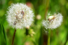 Dandelions close up Stock Images