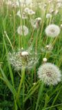 Dandelions close up in green spring field stock photography