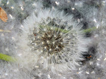 Dandelions covered with poplar fluff Royalty Free Stock Images