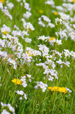 Dandelions and Cuckoo flowers Royalty Free Stock Photography