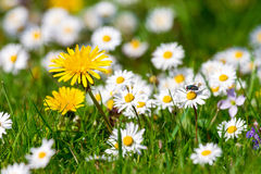 Dandelions and daisies Royalty Free Stock Photos