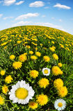 Dandelions with daisies Stock Photography