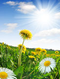 Dandelions and daisy. In the meadow - fisheye shot Royalty Free Stock Photo