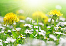 Dandelions and daisy. In the meadow Royalty Free Stock Photography