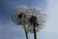 Dandelions. Dandelion heads shot in close up Stock Photography