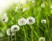 Dandelions delicate flowers Stock Image