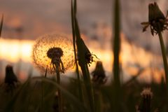 Dandelions at dusk Stock Image