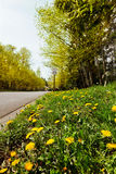 Dandelions at edge of quiet road Stock Images