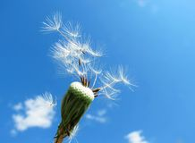 Dandelions faded. White seeds from fading dandelions fly Royalty Free Stock Photos
